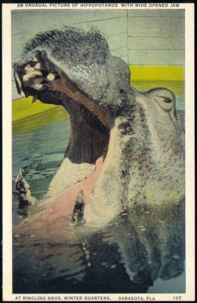 Sarasota, Fla., Zoological Park, ZOO, Hippo Hippopotamus with Wide Opened Jaw (1930s)