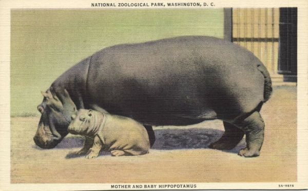 Washington D.C., Hippo Hippopotamus Mother and Baby (1940s)