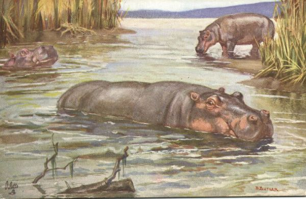 Artist Signed Butler, Hippo Hippopotamus Swimming (1943) Tuck Wild Animals